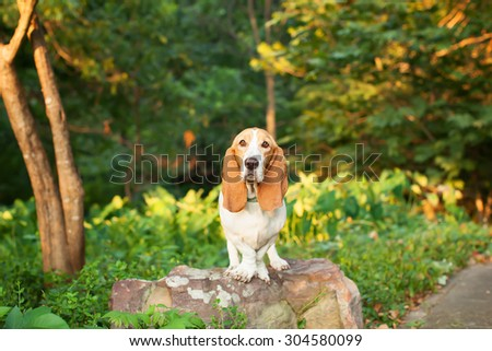 Basset Hound Standing on a Rock in Greenery and Woods with Ears Down #304580099