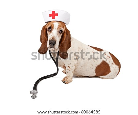 Basset Hound wearing a nurse hat and stethoscope. Isolated on white.