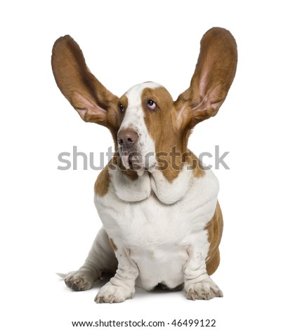 Basset Hound with ears up, 2 years old, sitting in front of white background - stock photo
