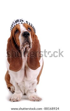 Basset hound with prison hat