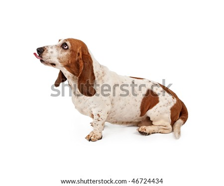 Basset Hound with tongue out