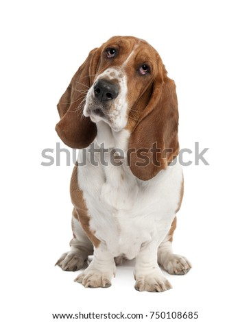 Basset Hound (1 year old) - hush puppy in front of a white background #750108685