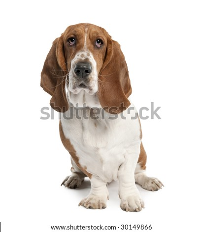 Basset Hound (1 year old) in front of a white background