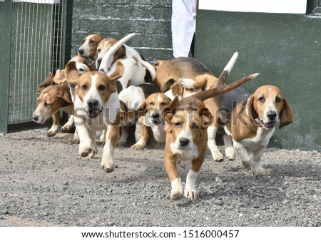 Basset Hounds coming out of kennel #1516000457