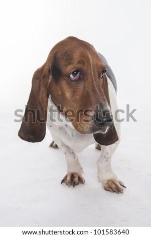 Bassett Hound on white background