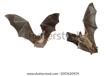 Bat buzzard, myotis myotis, flying with white background