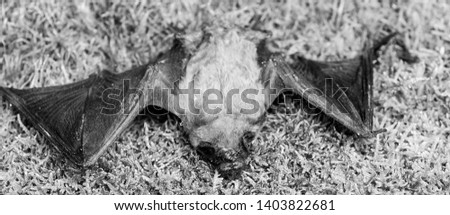 Bat detector. Ugly bat. Dummy of wild bat on grass. Wild nature. Forelimbs adapted as wings. Mammals naturally capable of true and sustained flight. Bat emit ultrasonic sound to produce echo. #1403822681