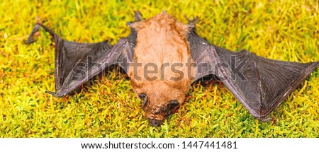 Bat detector. Ugly bat. Dummy of wild bat on grass. Wild nature. Forelimbs adapted as wings. Mammals naturally capable of true and sustained flight. Bat emit ultrasonic sound to produce echo. #1447441481
