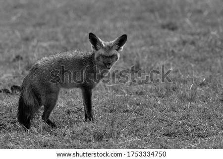 Bat-eared fox with damaged eyes, Masai Mara , Kenya