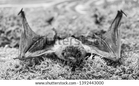 Bat emit ultrasonic sound to produce echo. Bat detector. Dummy of wild bat on grass. Ugly bat. Wild nature. Forelimbs adapted as wings. Mammals naturally capable of true and sustained flight. #1392443000