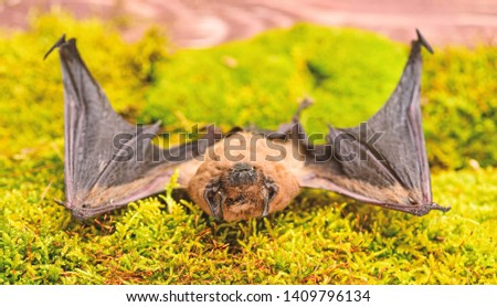 Bat emit ultrasonic sound to produce echo. Bat detector. Dummy of wild bat on grass. Ugly bat. Wild nature. Forelimbs adapted as wings. Mammals naturally capable of true and sustained flight. #1409796134