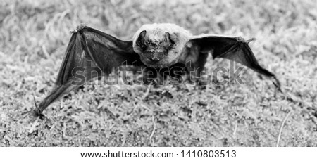 Bat emit ultrasonic sound to produce echo. Bat detector. Ugly bat. Dummy of wild bat on grass. Wild nature. Forelimbs adapted as wings. Mammals naturally capable of true and sustained flight. #1410803513