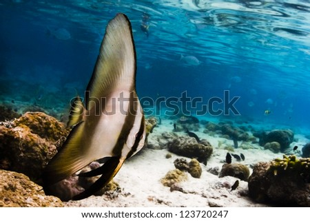 Bat fish swimming underwater with blue water background