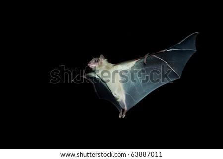 bat flying in the night