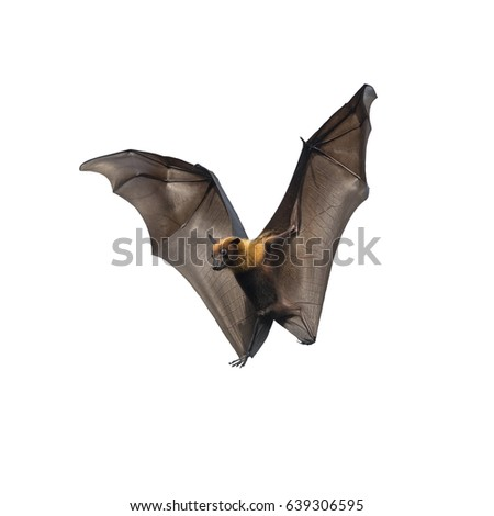 Shutterstock Bat flying isolated on white background