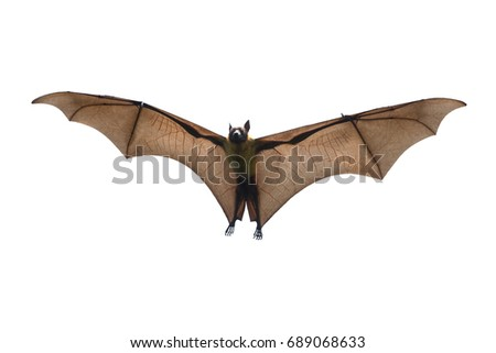 Shutterstock Bat flying isolated on white background ( Lyle's flying fox, Pteropus lylei)