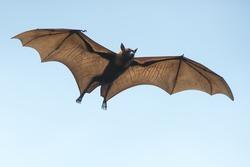 Bat flying on blue sky