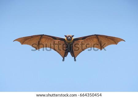 Shutterstock Bat flying on blue sky
