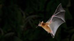 Bat, Greater Shortnosed Fruit Bat flying at night.