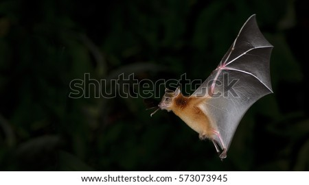 Bat, Greater Shortnosed Fruit Bat flying at night.