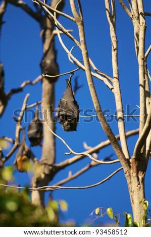 Bat hanging on a tree in the Royal Botanic Garden.  Sidney  Australia.