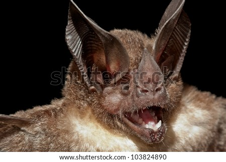 Bat (Lophastoma brasiliense)