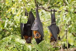 Bat,Lyle's flying fox (Pteropus lylei)