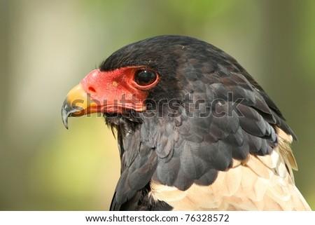 Bateleur Eagle, taken at the World Bird Sanctuary in Missouri.