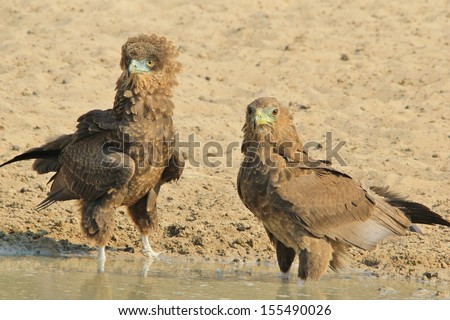 Bateleur Eagle - Wild Bird Background from Africa - Fluff and Puff of competitive eaglets.