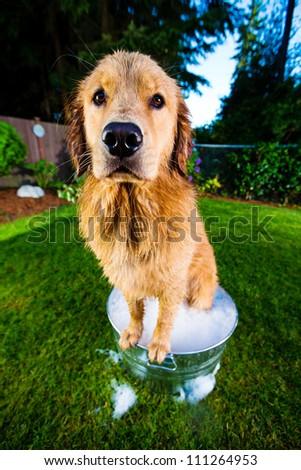 Bath time for a Golden Retriever Dog