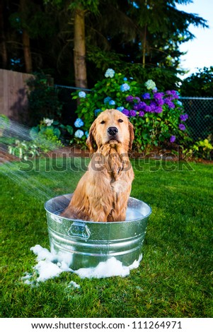 Bath time for a Golden Retriever Dog