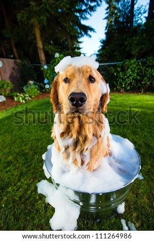 Bath time for a Golden Retriever Dog - stock photo