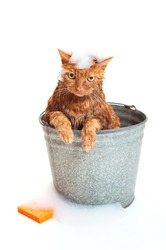Bath time for a wet and unhappy red Tabby cat sitting inside of a galvanized steel wash bucket with suds and an orange sponge. Shot in the studio and isolated on a white background.