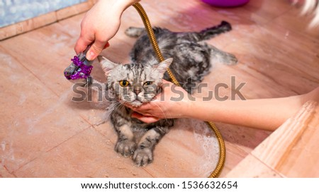 Bathing cat. Wet cat in a bath soaped with shampoo. Grooming animals, washing a bathing cat, combing wool. Grooming is a cat grooming master.