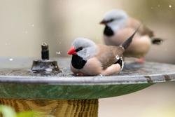 Bathing in a bird bath, a Long tailed finch bird Poephila acuticauda cools off in Australia.