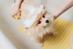 bathing the dog in the pomeranian dog hairdresser.