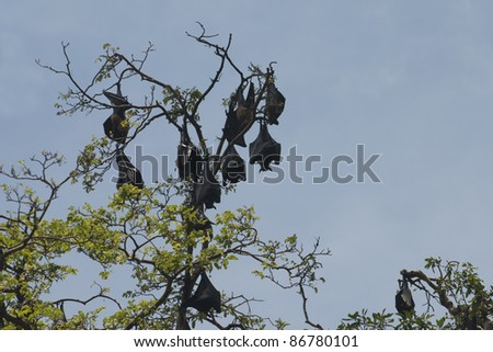Bats colony hanging on the trees