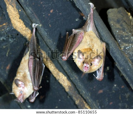 Bats hanging in the roof of a house. A tropical species from Ecuador