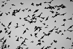 Bats in the air at Zotz Bats cave local tourist attraction in Calakmul, Mexico at dawn