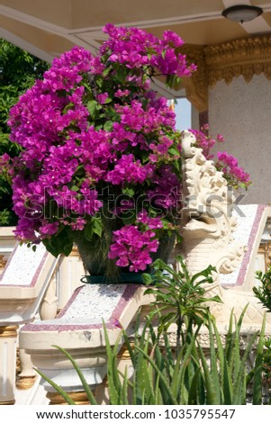 Battambang Cambodia, purple flowering bougainvillea bush in flowerpot decorating staircase at  unidentified temple