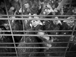 battery-reared chickens huddled behind bars