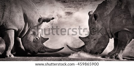 stock photo battle a confrontation between two white rhino in the african savannah on the lake nakuru 459865900 - Каталог — Фотообои «Животные»