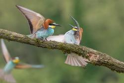 Battle between European bee eaters (Merops apiaster)