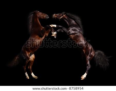 battle of horses - isolated on black