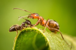battle of the ants
