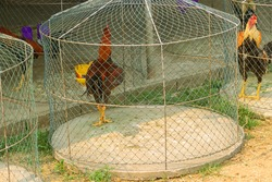 Battle rooster (heeler) in a cage before a fight. Cock fighting in Southeast Asia