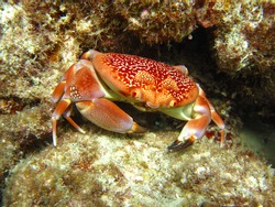 Batwing Coral Crab (Carpilius corallinus), Caribbean Sea