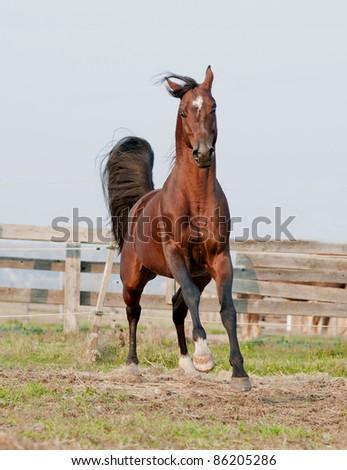 bay arab horse galloping in a paddock