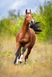 Bay arabian horse run fast outdoor