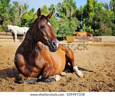Bay Arabian Mare resting in Pasture